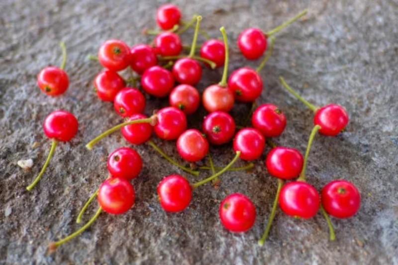 buah-talok